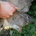 A.N.A.S.: dopo un'indagine  ha incrementato la specie, liberando, circa 40 esemplari di conigli