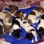 A.N.A.S.: cuccioli Yorkshire cercano casa e coccole