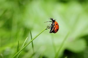 ladybug-796482_1920