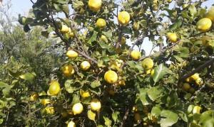 limone bergamotto