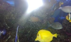 pesci anas acquario