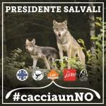"""""""Salvate i lupi!"""", con questo appello e con l'hashtag #cacciaunNO le Associazioni LNDC, Enpa, Lac, LAV e Lipu giovedì 2 febbraio, a Roma, accoglieranno i Presidenti delle Regioni e il Ministro per gli Affari Regionali"""