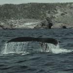 Ambiente e natura: avvistata per la prima volta nell'Oceano Atlantico una strana specie di balena. Questi cetacei, che uniscono caratteristiche delle balene e delfini sono stati fotografati nelle Azzorre.